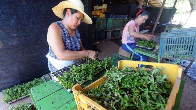 Mujeres guaraníes cosechando stevia